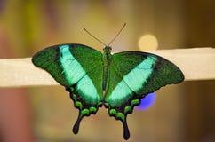 Farfalla su un bastone Immagine Stock