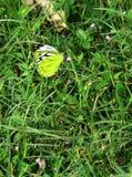Farfalla su un campo di erba verde Fotografie Stock Libere da Diritti