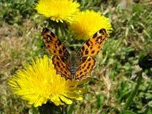 Farfalla su un dente di leone Fotografia Stock Libera da Diritti