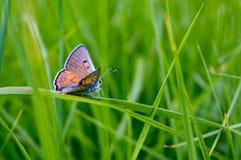 Farfalla su un'erba immagine stock libera da diritti
