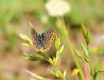 Farfalla su un'erba Fotografia Stock