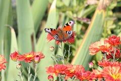 Farfalla su un fiore. Immagini Stock