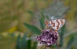 Farfalla su un fiore. Immagini Stock Libere da Diritti