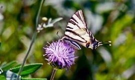Farfalla su un fiore. Fotografie Stock Libere da Diritti