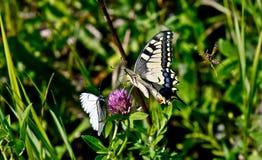 Farfalla su un fiore. Fotografia Stock Libera da Diritti