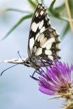 Farfalla su un fiore Immagine Stock