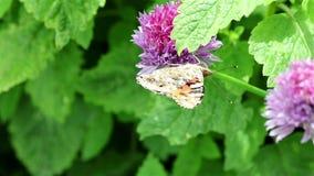 Farfalla su un fiore video d archivio