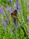Farfalla su un fiore blu del Veronica Fotografie Stock Libere da Diritti