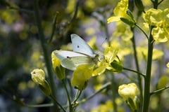 Farfalla su un fiore del cavolo Immagine Stock Libera da Diritti