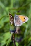 Farfalla su un fiore del dente di leone Immagine Stock