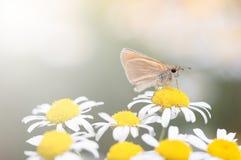 Farfalla su un fiore Foto di estate con le margherite e una farfalla Fuoco selettivo fotografie stock