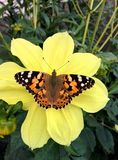 Farfalla su un fiore giallo immagini stock