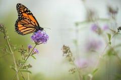 Farfalla su un fiore lilla La farfalla più famosa di Nord America è il daaid del monarca Foto artistica delicata immagini stock libere da diritti