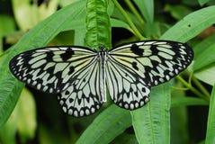 Farfalla su un foglio immagine stock libera da diritti