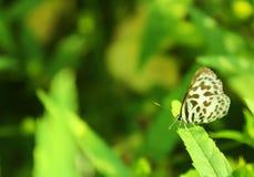 Farfalla su un foglio verde Fotografia Stock Libera da Diritti