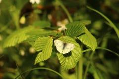 Farfalla su un foglio verde Immagini Stock Libere da Diritti