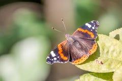 Farfalla su un foglio verde Immagine Stock