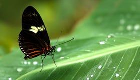 Farfalla su un foglio verde con le gocce di rugiada Fotografia Stock Libera da Diritti