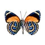 Farfalla su un fondo bianco nell'alta definizione Immagine Stock Libera da Diritti