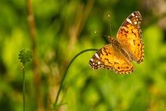 Farfalla su un gambo Fotografia Stock Libera da Diritti