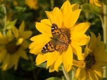 Farfalla su un girasole Immagini Stock Libere da Diritti