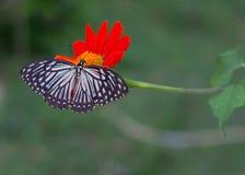 Farfalla su un girasole messicano Fotografia Stock Libera da Diritti