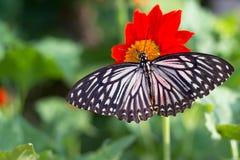 Farfalla su un girasole messicano Fotografia Stock