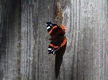 Farfalla su un recinto grigio Fotografia Stock Libera da Diritti
