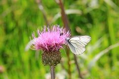 Farfalla su un tistel Immagini Stock Libere da Diritti
