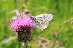 Farfalla su un tistel Immagine Stock Libera da Diritti