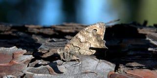 Farfalla su un tronco del pino Fotografie Stock Libere da Diritti