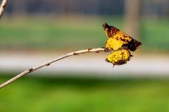 Farfalla su una filiale Immagine Stock