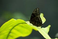 Farfalla su una foglia immagine stock libera da diritti
