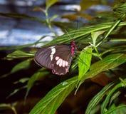 Farfalla su una foglia Fotografia Stock Libera da Diritti