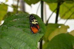 Farfalla su una foglia Immagine Stock