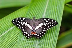 Farfalla su una foglia con le gocce di acqua Fotografia Stock Libera da Diritti