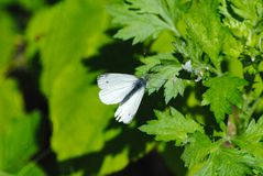 Farfalla su una foglia di un albero in primavera fotografie stock