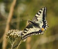 Farfalla su una lama Immagini Stock Libere da Diritti