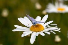 Farfalla su una margherita Immagine Stock Libera da Diritti