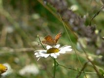 Farfalla su una margherita bianca Fotografie Stock Libere da Diritti