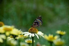 Farfalla su una margherita bianca fotografia stock