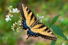 Farfalla su una pianta Immagini Stock