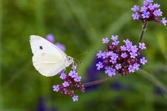 Farfalla su verbena Fotografia Stock Libera da Diritti
