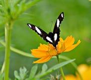 Farfalla succhiano il nettare Immagini Stock Libere da Diritti