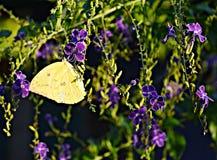 Farfalla succhiano il nettare dai fiori Fotografia Stock