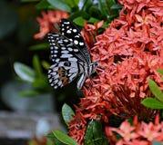 Farfalla succhiano il nettare dai fiori rossi Fotografia Stock