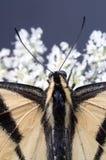 Farfalla sui fiori Immagini Stock Libere da Diritti