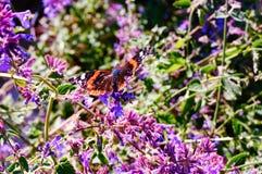 Farfalla sui fiori Fotografie Stock