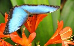 Farfalla sui fiori Immagine Stock