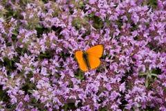 Farfalla sui fiori del timo Fotografie Stock Libere da Diritti